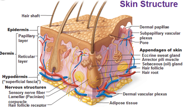 skin structure younger next day